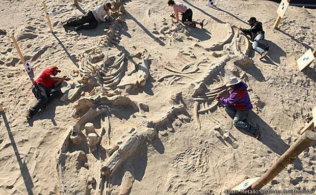 Esqueletos de baleia estão em ótimo estado de conservação (Foto: Instituto Smithsonian/BBC)