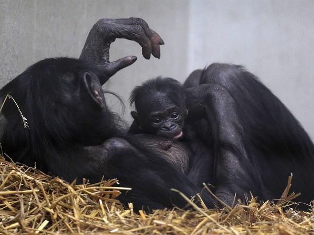 O filhote nasceu no último dia 6 no zoológico de Wuppertal (Foto: Frank Augstein/AP)