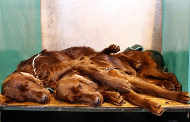 Dupla de Setters irlandeses é visto 'dormindo juntinha' após evento para cães no Reino Unido (Foto: Darren Staples/Reuters)