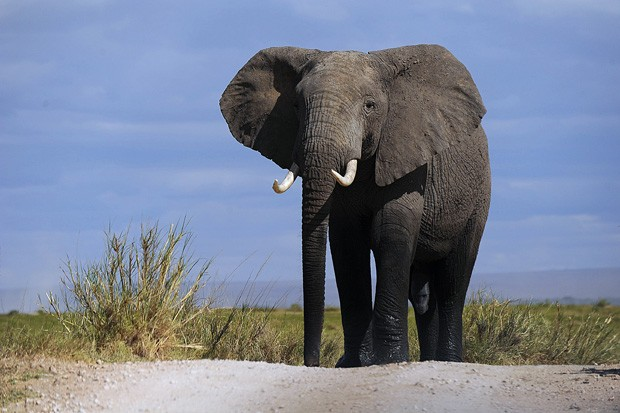 Elefante anda pelo Parque Nacional Amboseli, a 220 quilômetros de Nairobi, nesta segunda-feira (7). (Foto: AFP Photo/Tony Karumba)