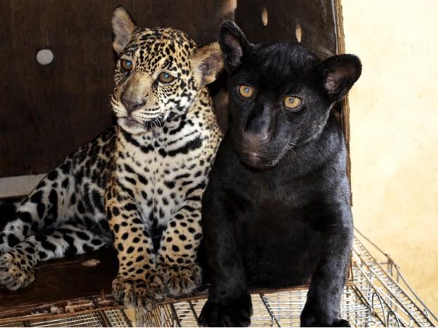 Onças pintadas tem pelagens diferentes, mas são da mesma mãe (Foto: Abinoan Santiago/G1)
