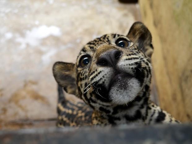 Onças tem aproximadamente cinco meses de idade (Foto: Abinoan Santiago/G1)