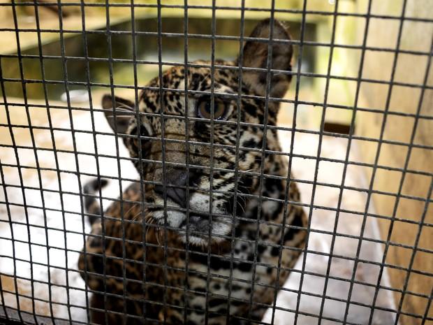 Onças estão em uma jaula no Centro de Tratamento de Animais Silvestres do Ibama no Amapá (Foto: Abinoan Santiago/G1)