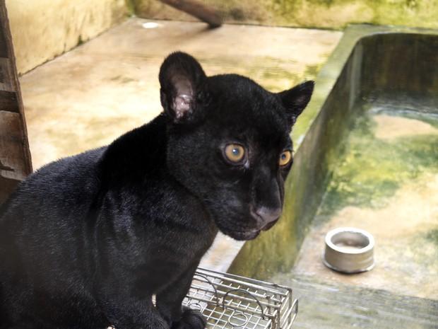 Apesar de ter a pelagem diferente, onça-preta é da mesma mãe da pintada (Foto: Abinoan Santiago/G1)