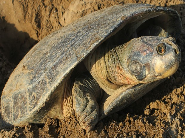 Apenas cinco pares de tartaruga da Amazônia foram encontrados em Oiapoque (Foto: Rubens Portal/Ibama)