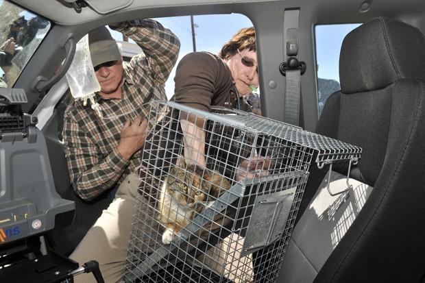 David Eason, dono da gata, segura embalagem de soro enquanto a veterinária Patricia Norris administra injeção em animal, que passou 3 dias preso em poste (Foto: The Las Cruces Sun-News, Carlos Javier Sanchez/AP)