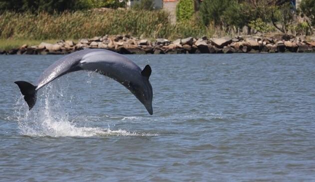 Recentemente, o governo japonês defendeu a pesca anual de golfinhos realizada no vilarejo de Taiji, após críticas de ambientalistas e da embaixadora americana no país asiático, Caroline Kennedy, à prática, que consiste na captura e morte de exemplares desses mamíferos para comercialização de sua carne (Foto: Jung Yeon-Je/AFP)