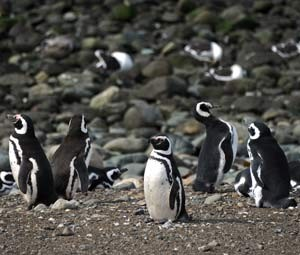 Ilha Magdalena é considerada paraíso dos inguins de Magalhães (Foto: AFP PHOTO / VANDERLEI ALMEIDA)