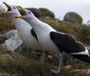 Gaivotas dominicanas estão entre os principais predadores dos pinguins na Ilha Magdalena (Foto: AFP PHOTO / VANDERLEI ALMEIDA)
