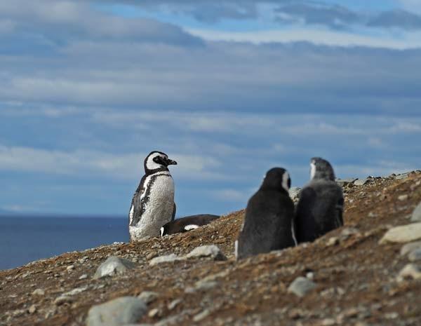 Pinguins de Magalhães podem durar até 25 anos (Foto: AFP PHOTO / VANDERLEI ALMEIDA)