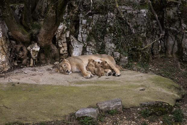 Leoa Shiva amamenta seus três filhotes (Foto: AP Photo/Laurent Cipriani )