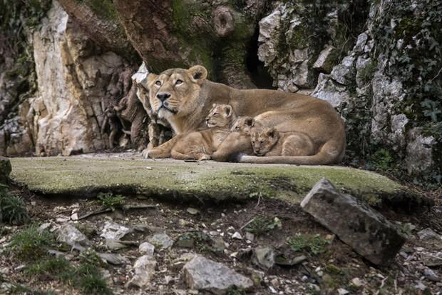 Filhotes de leões asiáticos se deitam ao lado da mãe Shiva (Foto: AP Photo/Laurent Cipriani)