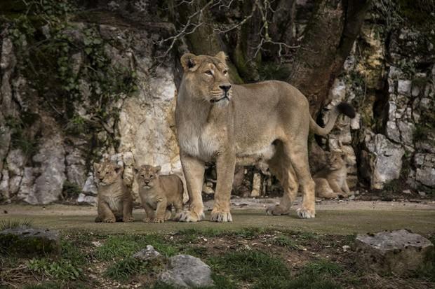 Leoa asiática Shiva cuida de seus três filhotes no zoológico de Besançon, na França (Foto: AP Photo/Laurent Cipriani )