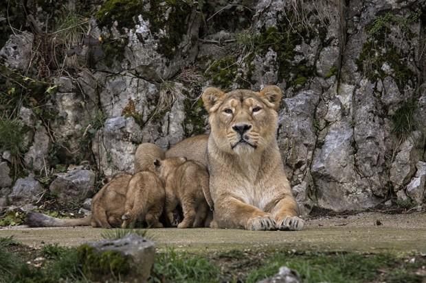 Os leões asiáticos são uma das espécies mais raras do mundo, segundo a WWF (Foto: AP Photo/Laurent Cipriani )