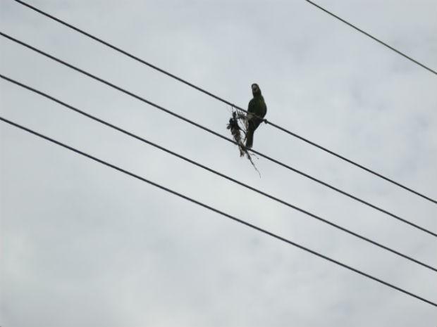 Maritaca se enrosca em linha de pipa e fica presa em fio da rede elétrica em Jundiaí (SP) (Foto: Luciano Guerino/ Guarda Municipal de Jundiaí)