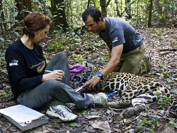 Animal estava em bom estado de saúde, segundo pesquisadores (Foto: Diogo Maia Grabin/Instituto Mamirauá)