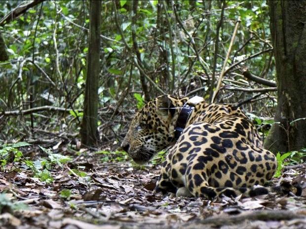 Onça deverá ser monitorada para controle da espécie (Foto: Emiliano Ramalho/Instituto Mamirauá)