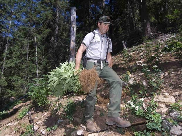 Guarda florestal encontra plantação de maconha em Parque Nacional de Cascade nos Estados Unidos (Foto: REUTERS/David Snyder/Handout via Reuters)