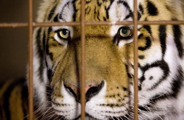 Criança faz carinho em filhote de tigre (Foto: Reprodução/BBC)
