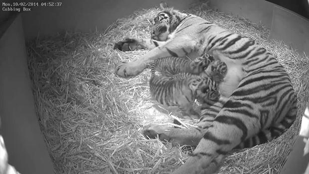 Imagem mostra tigresa Melati com seus três filhotes nascidos em fevereiro (Foto: AP Photo/Zoological Society of London)
