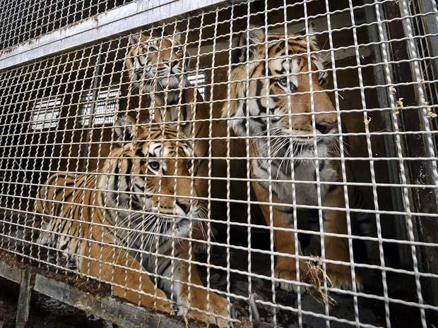 Tigresa acaricia um dos filhotes (Foto: BBC)