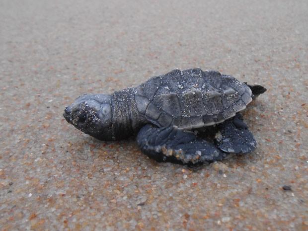 Quando técnicos chegaram à Praia de Boa Viagem, só restava um filhote no ninho. O restante já tnha entrado no mar. (Foto: Divulgação/ ONG Ecoassociados)