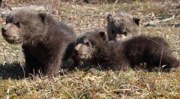 Foto tirada em 10 de março mostra filhotes de urso-pardo Ema, Ron e Oska, de um mês de idade, no Santuário para Ursos em Kosovo (Foto: AP Photo/Four Paws)