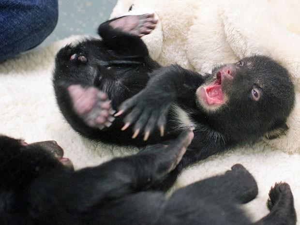 Três filhotes de ursos estão sendo cuidados pelos funcionários do zoo de Oregon (Foto: The Oregonian, Benjamin Brink/ AP)