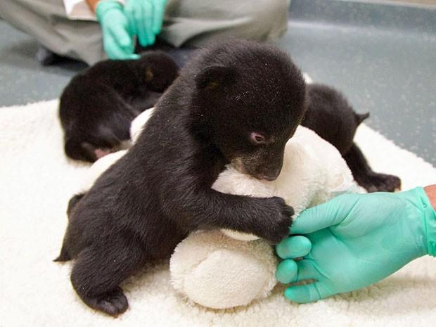 Ursinhos foram encontrados em um tronco oco; são duas fêmeas e um macho (Foto: The Oregonian, Benjamin Brink/ AP)