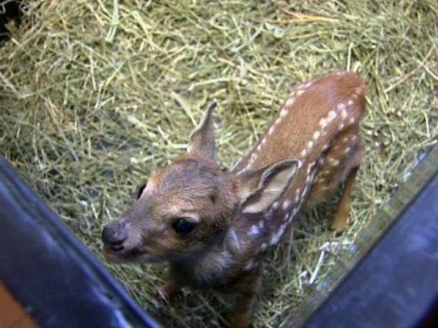 Filhote de veado é encontrado no Habiteto, em Sorocaba (Foto: Reprodução/TV TEM)