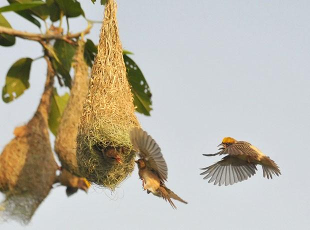 Tecelões se aproximam de ninho para alimentar filhotes (Foto: Asit Kumar/AFP)