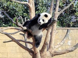Panda gigante descansa em uma árvore no jardim zoológico de Hangzhou, na China. (Foto: China Daily/Reuters)