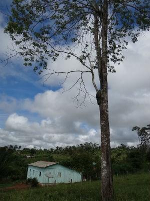 Árvore deve ter em torno de 25 metros de altura (Foto: Émerson Motta/RondoniaVip)