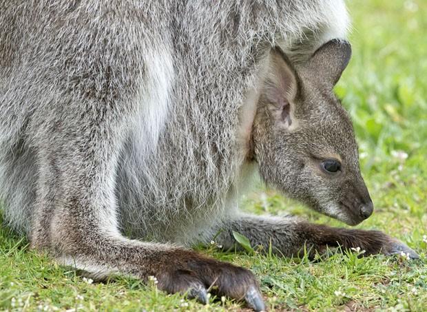 Filhote de canguru foi fotografado dando 'espiada' para fora da bolsa da mãe em zoológico de Erfurt, na Alemanha (Foto: Jens Meyer/AP)