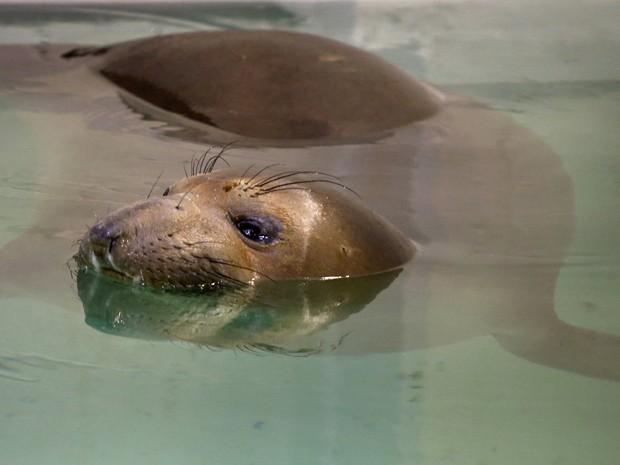Elefante-marinho Coolio foi resgatado cego e quase morto em praia da Califórnia (Foto: AP Photo/Keith Srakocic)