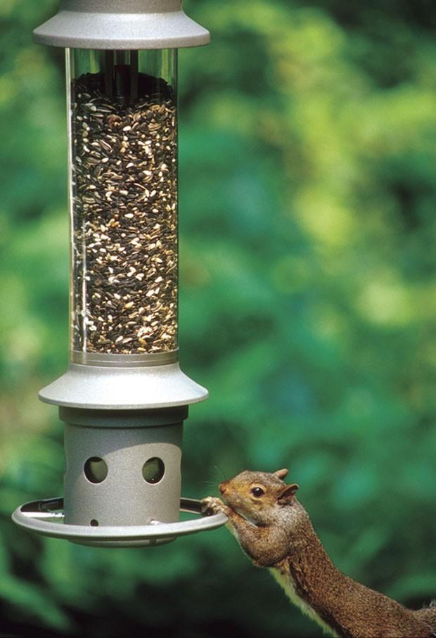 Esquilo 'se estica' para chegar até alimentador de pássaros (Foto: Wild Birds Unlimited/AP)