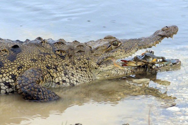 Um caranguejo parecia descansar na mandíbula de um aligátor (jacaré americano) ao ser fotografado antes de virar comida do réptil no estado da Flórida, nos EUA (Foto: National Geographic Channels/AP)