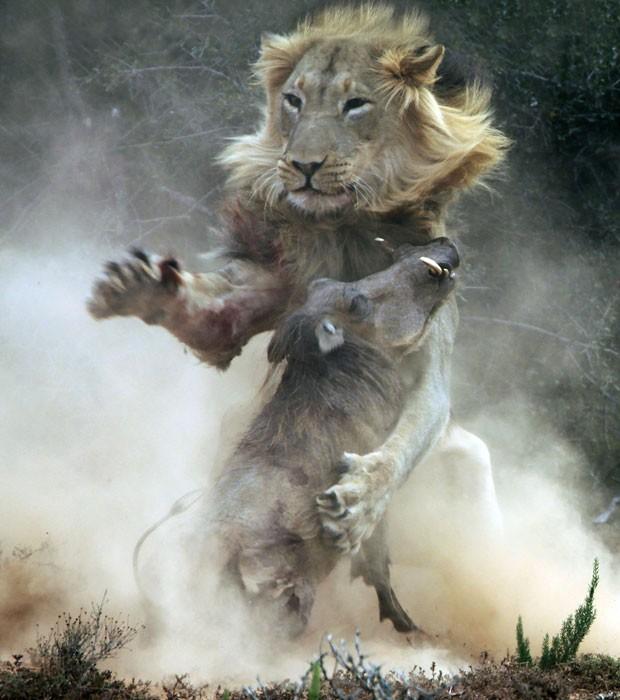 Fotógrafa flagra ataque de leão faminto a javali, que é pego de surpresa em parque na África do Sul (Foto: Dr Trix Jonker/Caters News)