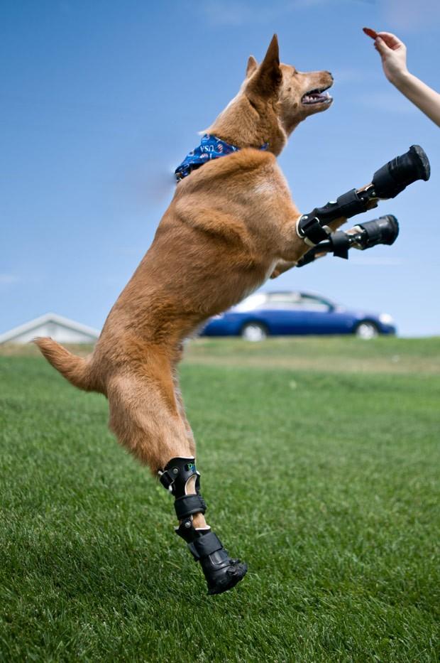 Naki'o teve as quatro patas amputadas e hoje corre e anda normalmente com próteses (Foto: AP Photo/OrthoPets, Lindsey Mladivinich)