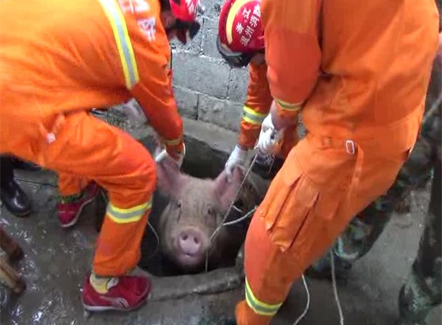 Porco de 300 kg caiu em poço e precisou ser resgatado por equipe de bombeiros na China (Foto: Reprodução/YouTube/NflareBreaking)