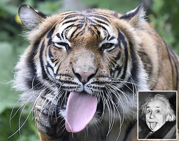 Tigre foi fotografado com a língua para fora em pose que lembra a famosa foto do físico alemão Albert Einstein (Foto: Martin Meissner/AP e Wikimedia Commons)