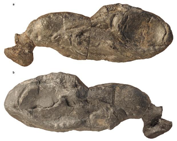 Fóssil da espécie 'Ozarcus mapese' é visto em dois ângulos diferentes (Foto: AMNH/F. Ippolito)