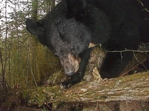 """Exemplar de urso-negro-asiático """"flagrado"""" na região de Sichuan (Foto: WWF/Peking University)"""