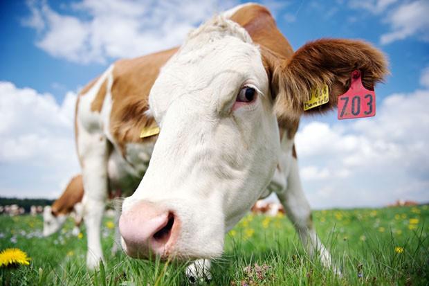 Vaca chegou bem perto de fotógrafo para dar 'encarada curiosa' em pasto de Rott, na Alemanha (Foto: Nicolas Armer, DPA/AFP)