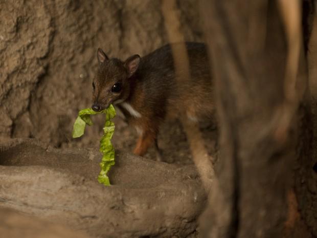 Filhote de veado-rato de Java nasceu em 9 de abril em parque espanhol (Foto: AFP Photo/Jorge Guerrero)