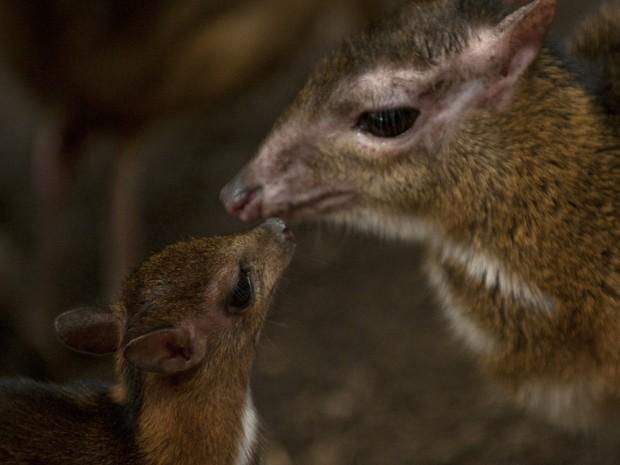 Filhote de veado-rato interage com sua mãe em parque da Espanha (Foto: AFP Photo/Jorge Guerrero)
