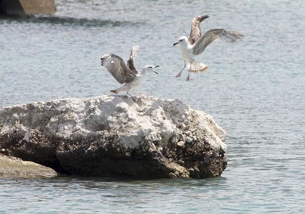 Duas gaivotas foram flagradas disputando 'espaço' uma pedra no mar Jônico, perto da cidade de Vlore, na Albânia, na última quarta-feira (7) (Foto: Arben Celi/Reuters)