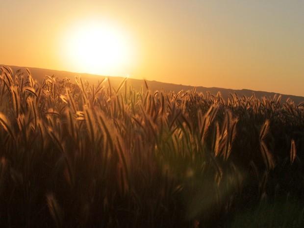 Nascer do sol atrás de campo de plantação de trigo na Reserva American Prairie, em Montana, Estados Unidos. (Foto: Chris Tajane)