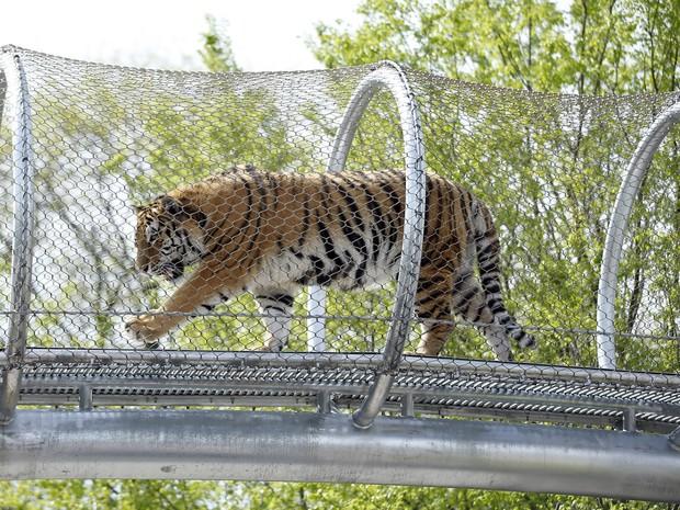 O tigre Amur, do zoológico da Filadélfia, caminha pela nova passarela (Foto: Matt Slocum/AP)