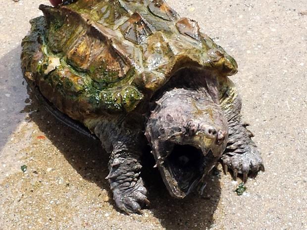 Rara tartaruga-aligátor foi devolvida em campanha nos EUA (Foto: Suffolk County SPCA/AP)